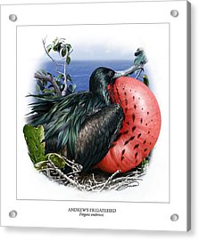 Andrews Frigatebird Fregata Andrewsi 3 Acrylic Print by Owen Bell