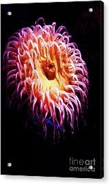 Anemone 1 Acrylic Print