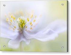 Anemone Beauty Acrylic Print