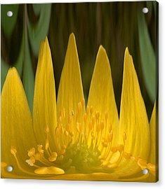 Anemone Flames Acrylic Print by Jouko Lehto
