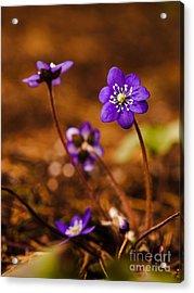 Anemone Hepatica Acrylic Print
