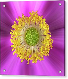 Anemone Hupehensis 'hadspen Acrylic Print by John Edwards