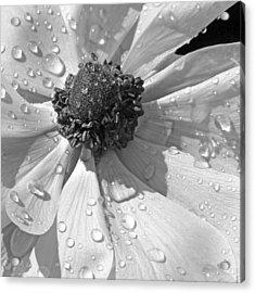 Anemone Poppy In Black And White Acrylic Print by Ben and Raisa Gertsberg