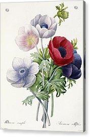 Anemone Simple Acrylic Print by Pierre Joseph Redoute