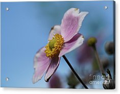 Anemone Tomentosa Flower Acrylic Print