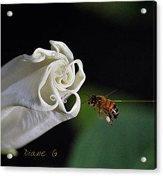 Angel Trumpet Acrylic Print by Diane Giurco