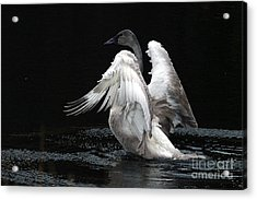 Angel Wings 2 Acrylic Print by Sharon Talson