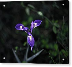 Acrylic Print featuring the photograph Angelpod Blue Flag by Sally Weigand