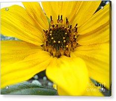 Angled Sunflower Acrylic Print by Sonya Chalmers