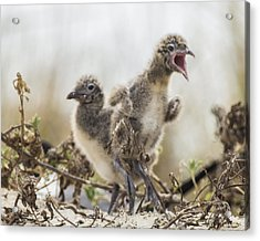 Acrylic Print featuring the photograph Angry Birds by Paula Porterfield-Izzo