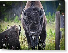 Angry Bison Acrylic Print by Greg Norrell