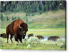 Angry Buffalo Acrylic Print