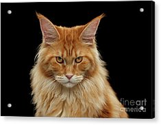 Angry Ginger Maine Coon Cat Gazing On Black Background Acrylic Print by Sergey Taran