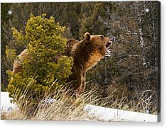 Angry Grizzly Behind Tree Acrylic Print