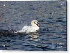 Angry Swan On The Water Acrylic Print by Michal Boubin