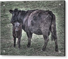 Angus We Have Heard On High Acrylic Print by William Fields