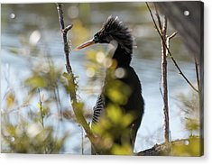 Acrylic Print featuring the photograph Anhinga 3 March 2018 by D K Wall
