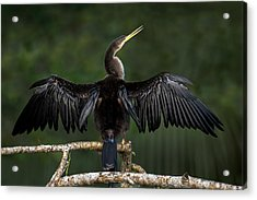 Anhinga Anhinga Anhinga Perching Acrylic Print by Panoramic Images
