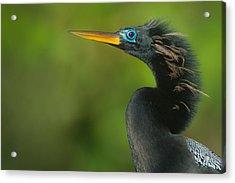 Anhinga Anhinga Anhinga, Tortuguero Acrylic Print by Panoramic Images