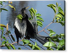 Anhinga Beauty Shot Acrylic Print