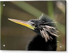 Anhinga Close-up Acrylic Print