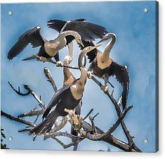 Anhinga Feeding Time Acrylic Print
