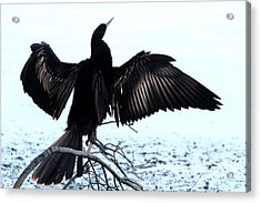 Anhinga Spread Eagle Acrylic Print