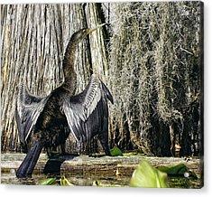 Anhinga Sunbathing In The Swamp Acrylic Print