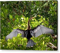 Acrylic Print featuring the photograph Anhinga With Silver Wings by Rosalie Scanlon