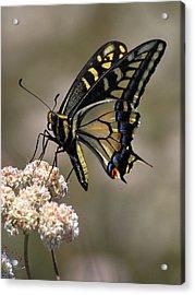 Anise Swallowtail Acrylic Print
