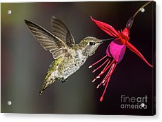 Anna Immature Hummingbird Acrylic Print
