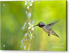 Anna's Hummingbird Acrylic Print by Emily Bristor
