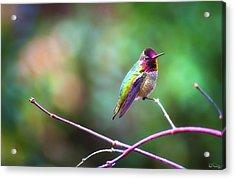 Anna's Hummingbird II Acrylic Print
