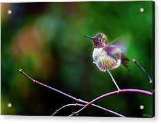 Anna's Hummingbird IIi Acrylic Print