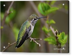 Anna's Hummingbird On Lime Tree Acrylic Print