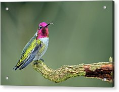 Anna's Hummingbird Sticking His Tounge Out Acrylic Print