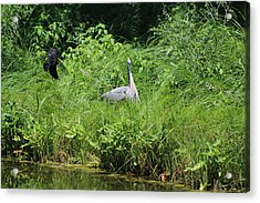 Annoyed - Heron And Red Winged Blackbird 1 Of 10 Acrylic Print