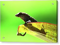 Anole In Green Acrylic Print