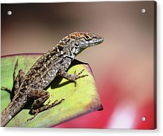 Anole In Rose Acrylic Print