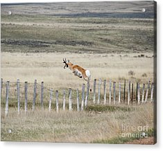 Acrylic Print featuring the photograph Antelope Jumping Fence 2 by Rebecca Margraf
