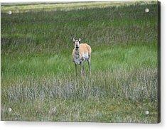 Prong Horned Antelope Lake John Swa Co Acrylic Print