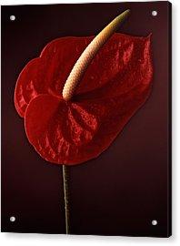 Anthurium Acrylic Print by Joseph Gerges