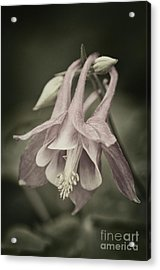 Acrylic Print featuring the photograph Antique Columbine - D010096 by Daniel Dempster