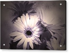Antique Delicate Daisies  Acrylic Print