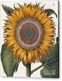 Antique Sunflower Print Acrylic Print by Basilius Besler