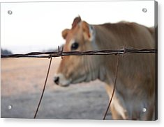 Acrylic Print featuring the photograph Any Cow  by Lora Lee Chapman