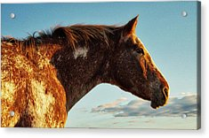 Appaloosa Mare Acrylic Print