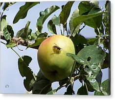 Apple Bee Acrylic Print by Gene Ritchhart
