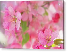Apple Blossom 4 Acrylic Print by Leland D Howard