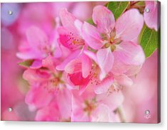 Apple Blossom 5 Acrylic Print by Leland D Howard